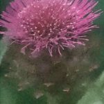 身近な花 アーティーチョーク