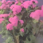 身近な花 アゲラタム