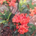 身近な花 イクソラ